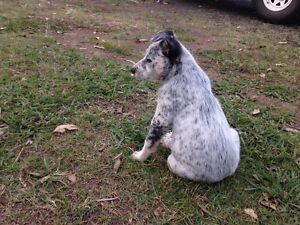 Cattle dog puppy Tallegalla Ipswich City Preview