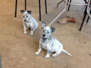 2 males cattle dogs Tallegalla Ipswich City Preview
