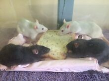 Healthy Baby rats for sale Westminster Stirling Area Preview
