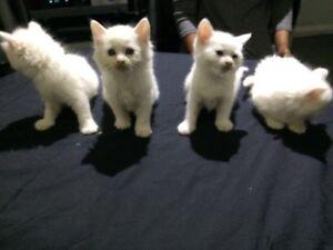 Kittens Hebersham Blacktown Area Preview