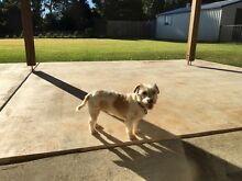 Jack Russell Purebred Male desexed 5 yrs old Nerang Gold Coast West Preview