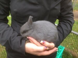 Netherland dwarf rabbits Belgrave Heights Yarra Ranges Preview