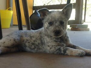 Male cattle dog puppy Tallegalla Ipswich City Preview