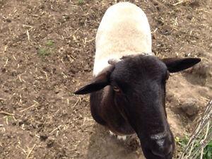 Sheep McLaren Vale Morphett Vale Area Preview