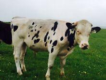 Friesian bull Strathalbyn Alexandrina Area Preview
