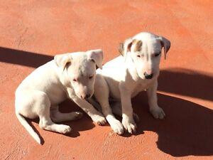 Bull terrier x Bull Arab pups. Blacktown Blacktown Area Preview