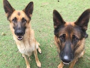 German Shepherds for sale New Farm Brisbane North East Preview