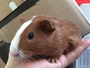 Guinea pig Gorokan Wyong Area Preview