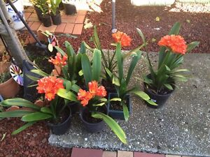 Clivia Plants Clayton South Kingston Area Preview