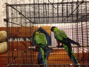 Breeding pair of Nanday conures Cowra Cowra Area Preview