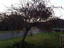 Ornamental peach tree large Maylands Bayswater Area Preview