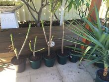 Frangipani plants potted Canning Vale Canning Area Preview