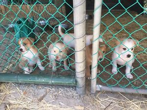 Jack Russell x Staffy pups 7 weeks old Seaford Rise Morphett Vale Area Preview
