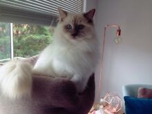 Pedigree Ragdoll Cat -lilac mitted male Artarmon Willoughby Area Preview