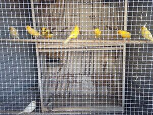 Canaries for sale Arncliffe Rockdale Area Preview
