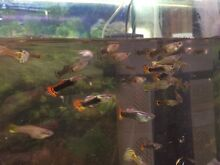 Guppies Attadale Melville Area Preview