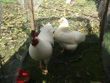White Plymouth Rock Bantam Pair. The Best Show Quality. Tenterfield Tenterfield Area Preview