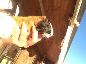 Guinea pigs Bowraville Nambucca Area Preview