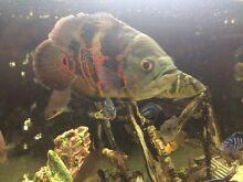 Oscar Tropical Fish Lidcombe Auburn Area Preview