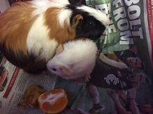 Guinea pigs Theft two baby females three weeks old. BEWARE Canning Vale Canning Area Preview
