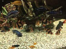 Tiger Barbs Tropical fish Lidcombe Auburn Area Preview