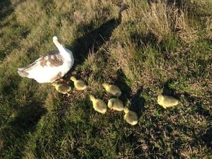 Goslings (geese) for sale Greta Cessnock Area Preview