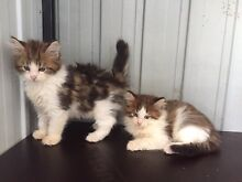 Maine coon Boys registered with ancat papers Castlereagh Penrith Area Preview