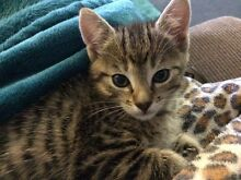 Gorgeous Female Kitten. Available now Medowie Port Stephens Area Preview