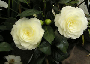 Camellia japonica Dahlohnega Syn. Golden Anniversary - Plant in 9cm Pot