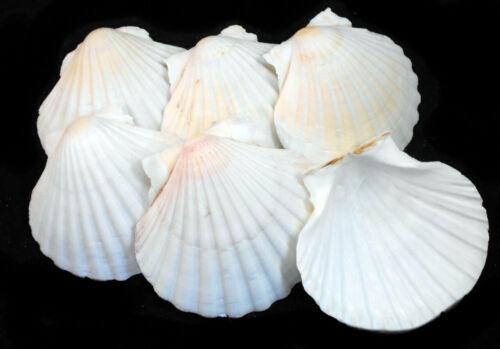 "6 Real XL Irish Baking Scallop Shells (4-4.5"") Restaurant Quality Beach Dining"