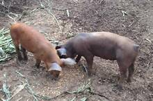 Duroc Boar and Berkshirer sow good breeding pair Goombungee Toowoomba Surrounds Preview