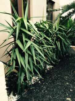 Amazing mature YACCA plants Brighton East Bayside Area Preview
