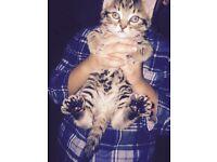 Stunning main coon x Bengal kittens