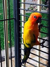 Sun conure parrot with cage Gawler South Gawler Area Preview