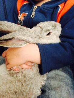 Gorgeous baby giant Flemish bunny - girl  South Penrith Penrith Area Preview
