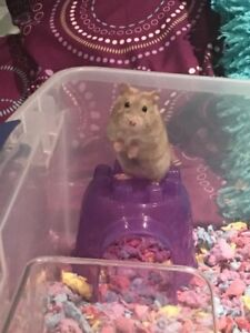 Bébés hamsters nains disponibles