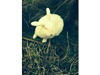 white mini lop Rabbit