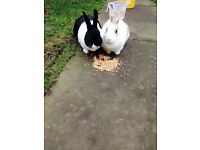 2 female rabbits for sale