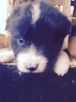 PURE BRED LONG HAIR BORDER COLLIE PUP Cardinia Area Preview