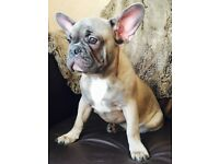 French bulldog blue/fawn boy