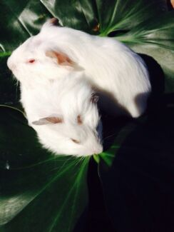 Baby guinea pigs white Kingsley Joondalup Area Preview