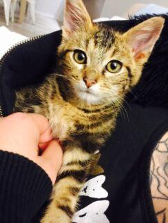 Lost kitten- $500.00 REWARD Bella Vista The Hills District Preview