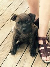 Staffordshire Bull Terrier Dungog Dungog Area Preview