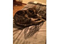 Tabby kitten for sale 5 months old male