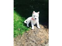 3 Month Old Pure Bred Siberian Husky (Female)