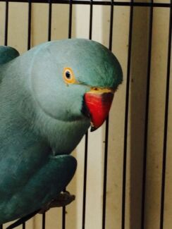 Indian Ringneck Parrot Glenview Caloundra Area Preview