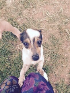 2 yrs Foxy x Jack Russell  Melton West Melton Area Preview