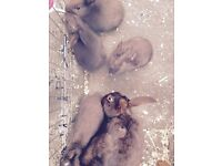 BABY MINI REX BUNNIES FOR SALE (READY 10TH MARCH)