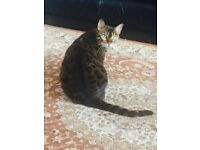Bengal cat,,,urgent sale