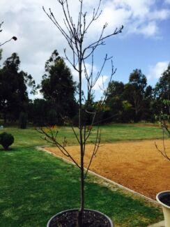 Claret Ash trees Dunsborough Busselton Area Preview